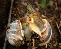 Two snails in love Royalty Free Stock Photo
