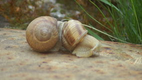 Two Snails in Love. Mating game snails.Snail is a common name that is applied most often to land snails, terrestrial pulmonate gastropod molluscs. However, the stock video