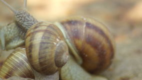 Two Snails in Love. Mating game snails. Snail is a common name that is applied most often to land snails, terrestrial pulmonate gastropod molluscs. However, the stock video