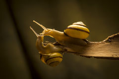 Two snails in love Stock Photos