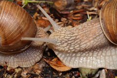 Two snails (macro) creep towards each other Stock Photos