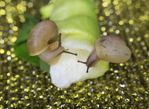 Two snails macro Royalty Free Stock Images