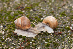 Two snails on mossy rocks Stock Images