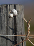 Two snails on post of barbed wire fence. Royalty Free Stock Photos