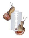 Two snails on razor. Isolated on white background Stock Images