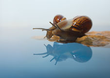 Two snails on a rock Royalty Free Stock Images