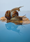 Two snails on a rock Royalty Free Stock Photo