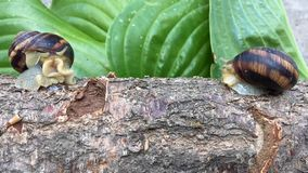 Two snails are sitting across from each other on a tree branch, close-up stock video