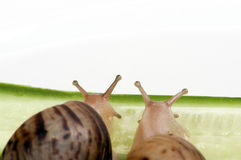 Two snails sitting on a slice of cucumber Stock Photography