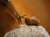 Two snails, spiral shell, beautiful escargots, steam clams, pair of brown snails. Snail with antenna upwards crawling around. escargots. snail big and small, a Royalty Free Stock Photo