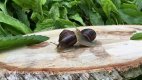 Two snails on a stump stock footage
