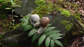 Two snails on stump in the wood stock video footage