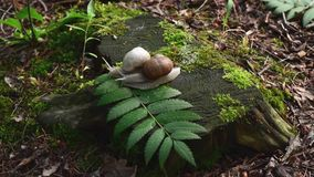Two snails on stump in the wood stock footage