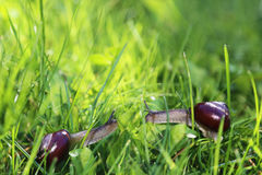 Two snails in sunny grass. Two snails crawling to each other in sunny green grass Stock Image