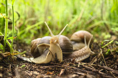 Two snails in tall grass Stock Photography