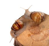 Two snails on top of pine-tree stump Royalty Free Stock Photo
