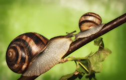 Two snails on a tree Stock Photo