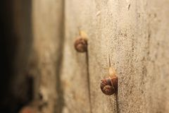 Two snails on the wall in competition who is Stock Photography