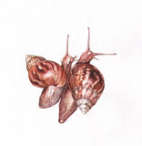 Two snails watercolor painting Stock Image