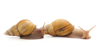 Two snails. Royalty Free Stock Image