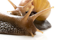 Two snails  on white background, concept of kissing each other Royalty Free Stock Photo