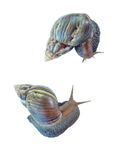 Two snails on white background. Land two snails on white background Royalty Free Stock Image
