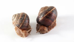 Two snails are on a white background stock video footage