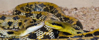 Two snakes head to head. Two yellow and black snakes with their face to face royalty free stock photo