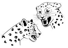 Two snarling leopard Stock Images