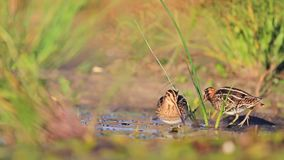Two snipe in search of food stock video