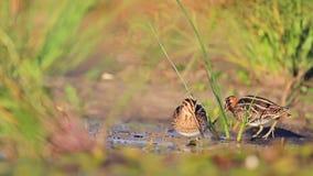 Two snipe in search of food. Snipe, sandpipers, bird hunting, bird hunt is on, waterbirds, long beak stock video