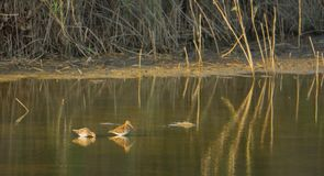 Two Snipes at lagoon in evening light Royalty Free Stock Images