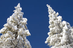 Two snow-capped trees Royalty Free Stock Image