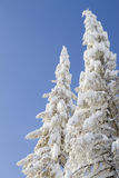 Two snow-capped trees Stock Image