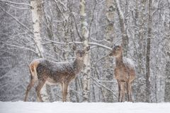 Two Snow-Covered Beautiful Female Red Deer Cervus Elaphus Stands Sideways Against A Snowy Forest And Snowflakes. Let it snow:. Red Deer Cervidae During A Heavy royalty free stock photo