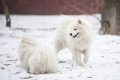 Two snow-covered dogs frolic in the winter on freshly fallen snow stock images
