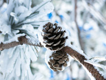 Two snow-covered pine cones on a branch Stock Images