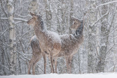 Two Snow-Covered Red Deer  Cervus Elaphus  Stand In A Half-Turn On The Outskirts Of A Snow-Covered Birch Forest.Two Female Noble Royalty Free Stock Photos