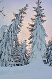 Two snow-covered trees Stock Photo
