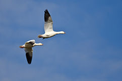 Two Snow Geese Flying in a Blue Sky Stock Photos