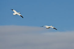 Two Snow Geese Flying in a Cloudy Sky Royalty Free Stock Photo