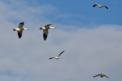 Two Snow Geese Flying in a Cloudy Sky Royalty Free Stock Photos