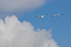 Two Snow Geese Flying High Above the Clouds Stock Photos