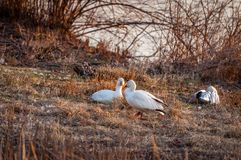 A Pair of Snow Geese royalty free stock images