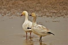 Snow Goose tandem stock photo