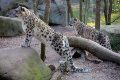 Two Snow leopard,Uncia uncia Royalty Free Stock Images