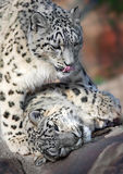 Two snow leopards Royalty Free Stock Image