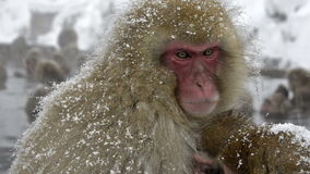 Two snow monkeys cuddling in the cold, Jigokudani, Nagano, Japan. stock video