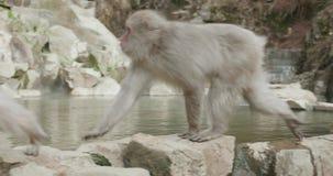 Two snow monkeys walking on onsen, hot spring, edge stock footage