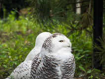 Two snow owl. With one facing camera Stock Photography